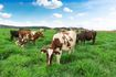Trang trại bò sữa hữu cơ chuẩn châu Âu đầu tiên của Vinamilk