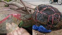 Chuyên gia: Cây xanh không bỏ bọc lưới nilon rất dễ gãy đổ