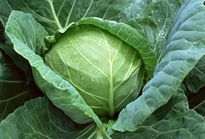 Trồng bắp cải trong thùng xốp cho rau ăn ngon ngọt