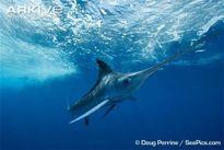 Quái vật mõm kiếm săn mồi nhanh kỷ lục đại dương