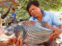Ngư dân bắt dính cá hô đất trên sông Vàm Nao