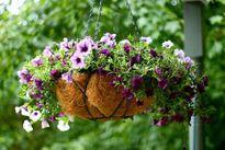 Các loài hoa tuyệt đẹp trang trí ban công