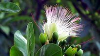 Hoa bàng vuông nở giữa Nha Trang