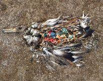 Sự thật gây sốc: 99% chim biển sẽ phải ăn nhựa phế thải đến tận 2050