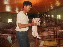 Thành tỷ phú từ mô hình lai tạo lợn giống