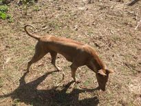 Ký sự Người nuôi chó - Kỳ 21: Khi con chó bị liệt cả 4 chân