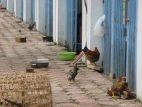 Nghịch cảnh gà, vịt được ở biệt thự siêu sang