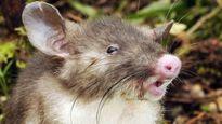 Tìm thấy loài chuột mới có mũi như mũi lợn