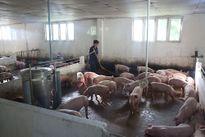 Công ty CPV giới thiệu hệ thống kiểm soát sản xuất thịt heo khép kín