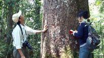 Hoàn tất hồ sơ khởi tố vụ khai thác gỗ pơ mu trái phép