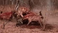 """Kinh hoàng """"cuộc chiến"""" giành con mồi giữa đàn linh cẩu và bầy sư tử - Video"""