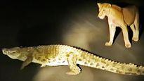 Cá sấu cướp mồi khiến sư tử, báo và linh cẩu chỉ biết đứng nhìn