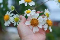 Chiêm ngưỡng cây hoa dã quỳ trắng độc nhất vô nhị ở Đà Lạt