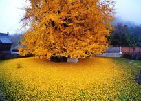 Du khách mê mẩn trước màu vàng óng ánh của cây ngân hạnh 1.400 tuổi