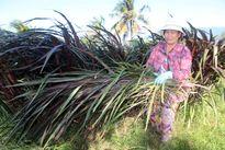 Chuyển đổi ở Ninh Thuận: Trồng cỏ tiết kiệm nước