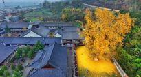 Cây bạch quả 1.400 tuổi trải thảm lá vàng rực đền thiêng