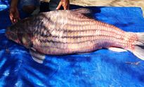 Bắt cá quý có giá cả trăm triệu trên dòng Mê Kông