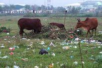 Đất vàng bỏ hoang, khu công nghiệp thành nơi chăn bò