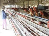 Quảng Nam: Người dân nuôi gà mái đẻ cho năng suất chất lượng ổn định