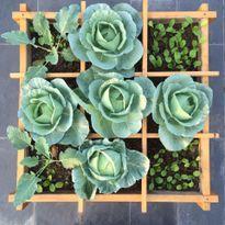 Bí kíp tự trồng bắp cải tại nhà để tình yêu cuộn tròn trong lá