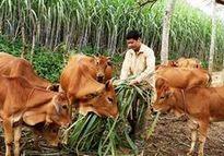 Hỗ trợ nâng cao hiệu quả chăn nuôi nông hộ