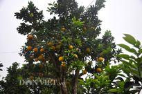 Cây bưởi cổ thụ cao hơn 5m giá 'nghìn đô' ở Hưng Yên