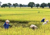 Giảm 100.000 ha đất trồng lúa trong năm 2016