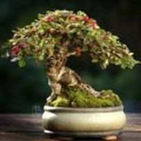 Dân sành chơi đua nhau săn quất bonsai rồng phượng