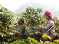 Nhận diện 'điểm yếu' của cây công nghiệp Việt Nam