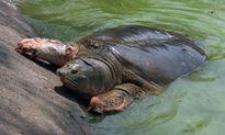 PGS Trần Lâm Biền: Không ai gọi rùa hồ Gươm bằng 'cụ' cả