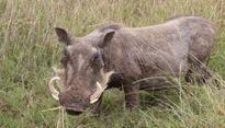 Lợn rừng của nhà Phó chủ tịch huyện cắn người nhập viện