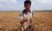 Lúa nhiễm mặn, nông dân trắng tay