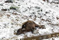 Rét hại, trâu bò vùng cao chết hàng loạt