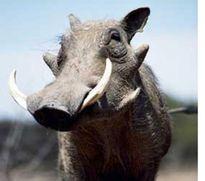 Lợn rừng tấn công khiến người dân nhập viện
