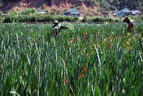 Lâm Đồng: Xót xa hoa nở đỏ đồng