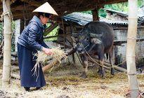 Hơn 300 con gia súc bị chết do thời tiết khắc nghiệt tại Điện biên