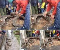 Hưng Yên: Phát hiện con trăn khổng lồ quanh năm sống ở mộ, không bao giờ cắn ai