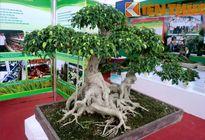 Chiêm ngưỡng cây sanh thế giá 100 triệu đồng ở Hà Nội