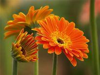Cách chăm sóc các loài hoa chưng trong ngày Tết
