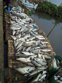 Dân mạng kêu gọi cứu cá vược Thái Bình chết rét
