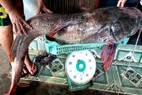 """Đắk Lắk: Dân câu được cá lăng """"khủng"""""""