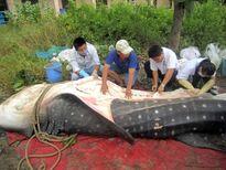 Đưa cá nhám voi dạt bờ về Viện Hải dương học