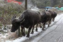 Hơn 7.600 gia súc chết trong đợt rét đậm vừa qua