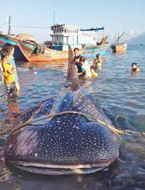 Ướp xác cá nhám voi nằm tronh sách đỏ phục vụ nghiên cứu