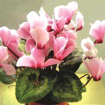 Tránh dị ứng hoa ngày tết