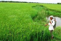 Nỗ lực phòng trừ sâu bệnh hại lúa