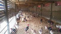 Về trang trại gà Đông Tảo cho thu nhập tiền tỷ