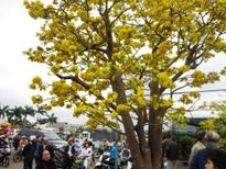 Trầm trồ trước cây mai 'độc' 100 năm tuổi giá 2 tỉ đồng