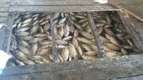 Cá chết trắng sông, nông dân mất tiền tỉ