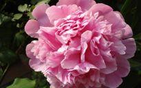 Các loại hoa dùng làm thực phẩm với hương vị đặc biệt